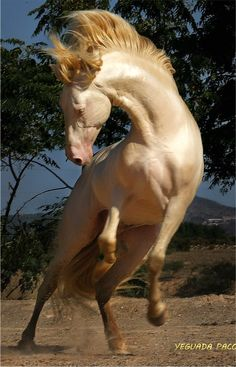 Beautiful... Akhal-Teke. A breed from Turkmenistan. Only about 3,500 are left worldwide. Known for their speed and famous for the natural metallic shimmer of their coats.                                                                                                                                                                                 More