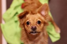 Champagne - Pekingese mix -- Male - 2 yrs old - PAWS Chicago - Chicago, IL. - http://www.pawschicago.org/pet-available-for-adoption/showdog/champagne/ - https://www.facebook.com/pawschicago/ - https://www.petfinder.com/petdetail/34233497