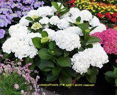 Ortensia, Hydrangea macrophylla, coltivazione e cura
