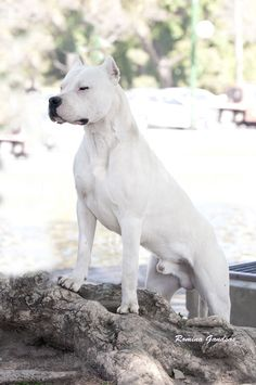 Argentine Dogo, this one is pretty bad ass too