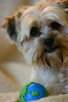 Angus, the Shorkie, and is ball.