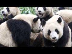 Panda Rescue by Dan Bortolotti (599.789 BOR) - trailer by Brianna on YouTube