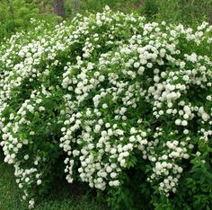 Idänvirpiangervo Shade Garden, Garden Plants, Garden Cottage, Gazebo, New Homes, Herbs, Green, Flowers, Outdoor