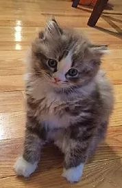 Look at these RagaMuffin kittens for sale and fall in love. RagaMuffin kittens from RagaMuffin breeders of TRKBS RagaMuffin Cat Club Ragamuffin Kittens, Ragdoll Cats, Cute Cats And Kittens, Kitten For Sale, Beautiful Nature Scenes, Cute Baby Animals, Fur Babies, Teddy Bear, The Incredibles