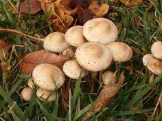 Psilocybin mushrooms in their natural habitat.