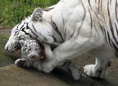 Nice Pictures of Baby Animals and Their Mothers|www.eface.in. Tigers