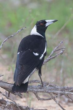 Australian Magpie (Gymnorhina tibicen terraereginae) Kuranda, Queensland