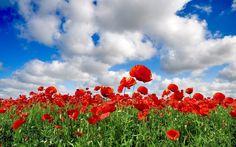http://wallpaperscraft.com/download/poppies_field_sky_clouds_green_summer_33941/3840x2400