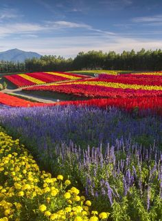 In the center of Hokkaido, Biei is small town known for its lavender field similar to Furano. When summer rolls around and lavender is in full bloom, the gentle hills of Biei become filled with numerous visitors. #Japan #travel #guide #japantravel #TheRealJapan #Japanese #howtotravel  #vacation #trip #explore #adventure #traveltips www.therealjapan.com Purple Roses, Lavender Roses, Rose Flowers, Container Gardening, Vegetable Gardening, Japan Destinations, Furano, Summer Rolls, Container Flowers