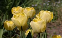 Langstelige gele tulp met gefranjerd blad, geen verwilderingsbol, dus na bloei uitgraven anders is deze weg.