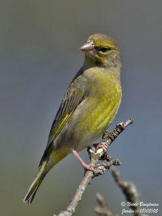 European greenfinch | ... EUROPEAN GREENFINCH - CARDUELIS CHLORIS - VERDIER D'EUROPE > EUROPEAN