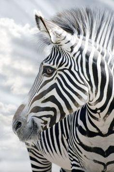 Zebra Stripes | Cutest Paw