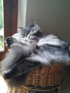 Six month silver tabby maine coon