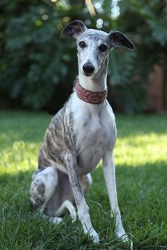 Sometimes I want a whippet just so I can name it Devo. Haha.