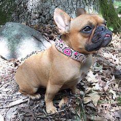 Miss Mini Mia, the French Bulldog