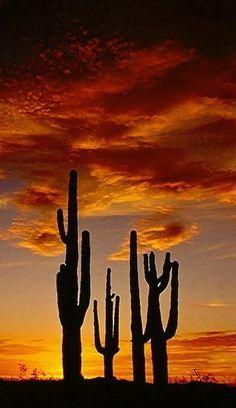 Saguros at sunset, Saguaro National Park, Arizona, United States.