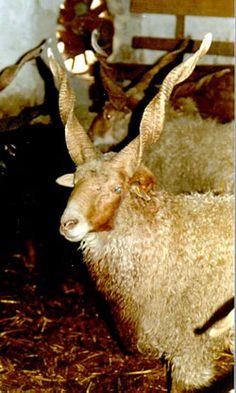 Breeds of Livestock - Racka Sheep