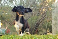 A1525183 MILEA Adorable little Rat Terrier is two months old and weights about 3 lbs.  Playful and happy and ready for a new home.