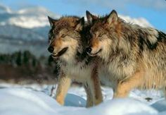 yellowstone animals pictures - Google Search