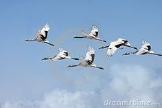 Photo about Blue sky and white clouds fly between the lucky bird-red-crowned cranes. Image of group, flying, redcrowned - 23476909 White Clouds, Big Sky, Crane, 2017 Ideas, Birds, Animals, Education, Google, Blue