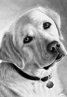 Labrador retriever grey - Coloring pages - Print coloring 2019 Pencil Drawings Of Animals, Art Drawings, Golden Retriever Kunst, Dog Portraits, Animal Paintings, Dog Art, Painting & Drawing, Labrador Retriever, Cute Animals