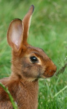 """~~Belgian Hare - The Belgian Hare is a distinct rabbit, with a deep red """"rufus"""" coat with black, wavy ticking. It closely resembles a hare, with a long, fine body, muscular flank, and arched back with loins and well-rounded hind quarters."""