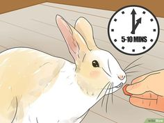 How to Teach Your Rabbit to Come when Called: 11 Steps