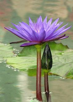 Pretty Purple Water Lily Nymphaea Director Moore available at www.vnwg.com - #available #director #Lily #moore #nymphaea #pretty #purple #water #wwwvnwgcom