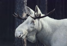 Moose (Alces alces) Possible melanistic moose, or at least a very dark male. Majestic Animals, Rare Animals, Strange Animals, Moose Pictures, Animal Pictures, Beautiful Creatures, Animals Beautiful, Albino Moose, Melanism