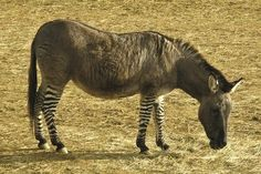 Hebra  A zebroid with a horse for a father and a zebra mother is called a hebra. They are much rarer then zorses, and look very different from a zorse. This hebra lives at the Colchester Zoo in England. (image credit: Dcgi)