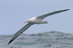 Damn... Just look at those wings!  #albatross #sexy