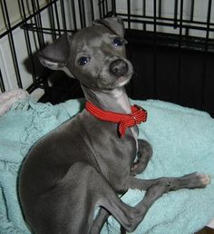 Penne the Italian Greyhound Pictures 3526