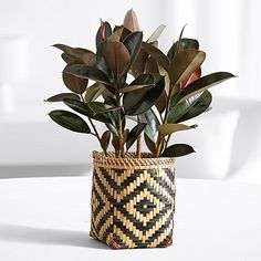 Search for rubber tree floor plant Bamboo Plants, Green Plants, Potted Plants, Ficus Elastica, Floor Plants, Rubber Tree, Cat Garden, Landscaping Plants, Plant Care