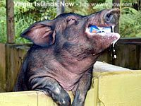 Beer Drinking Pigs at the Domino Club in the Rainforest, St. Croix USVI