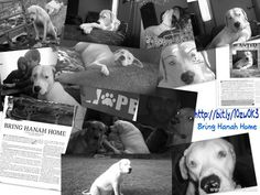 """MISSING DOG """"HANNAH""""!!! TORN FROM MOTHER'S ARMS AFTER TORNADO IN JOPLIN! SHE IS ALIVE BECAUSE SHE WAS PHOTOGRAPHED AFTER TORNADO~SOMEONE MUST HAVE PICKED HER UP....IF YOU HAVE SEEN HER...IN SHELTER OR ANYWHERE....PLEASE CONTACT HER MOM! THANK YOU,....PLEASE SHARE..SHE ALSO HAS A FACEBOOK PAGE~ bringhanahhome@gmail.com"""