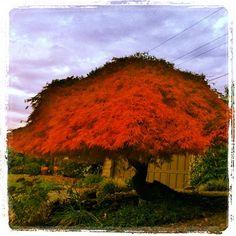 Red leaf Umbrella