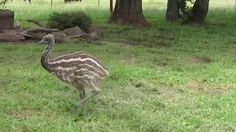 Discover Baby Emus, they're cute ,curious, and full of energy. Watch the video to see what you think. Garden Up Green The Ostrich, Ostriches, Big Bird, Emu, Garden Sculpture, Wildlife, Backyard, Earth, Raising