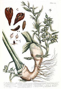 cardamom plant - Granger 1975