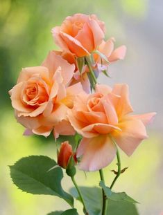 Roses are one of the most popular flowers worldwide! It's easy to see why! The cultivation of roses most likely began in Asia 5000 years ago! Beautiful Rose Flowers, Flowers Nature, Amazing Flowers, Pretty Flowers, Rosa Rose, Orange Roses, Flower Pictures, Flower Wallpaper, Flower Arrangements