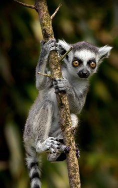 Baby ring tailed lemur by Mark Lynham on 500px.