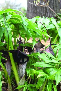 Dominatrix Jack-in-the-Pulpit for sale buy Arisaema thunbergii ssp. urashima