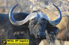 The buffalo at Shayamanzi spends a lot of time at their favourite water point in the 10 hectare camp. Photos of Buffalo at Shayamanzi! Wilderness, Buffalo, Wildlife, Camping, Tv, Water, Photos, Animals, Campsite