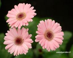 Gerberas Color Rosa