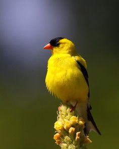 American Goldfinch. Another of my favorites.