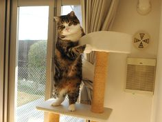 He is Maru. Maru:[I came to deliver this cat tower. Is the direction of the top OK in this?] more....