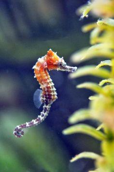 1 Baby Lined Seahorse Tank Bred and Raised - Fish Saltwater Aquarium Refugium
