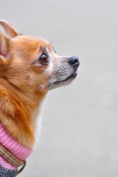 Cute Side Profile of a Chihuahua!