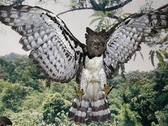 """Harpy Eagle """"Cheyenne"""" - 51 Years Old - Died At Summit Zoo ..."""