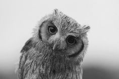 #fluffy #owl #cutehoot...Shehaam this is for yoU=)
