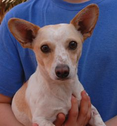 Roxanne was in peril trying to cross one of the busiest intersections in Las Vegas.  She had no sign of responsible ownership (no ID tag, no microchip ID, not spayed).  Roxanne is a peppy young girl and she is so happy to have some stability and regular meals & treats and volunteer attention.  She is only 2 years of age, a cream & white Chihuahua, now spayed and debuting for adoption this morning at Nevada SPCA (www.nevadaspca.org).  Roxanne enjoys other friendly dogs too.